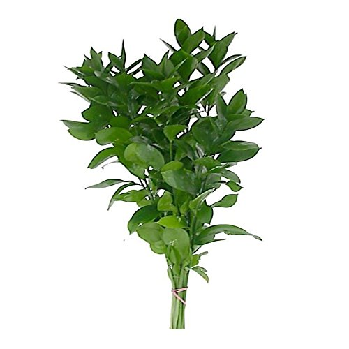 Farm Fresh Natural Israeli Ruscus Greens - 100 stems