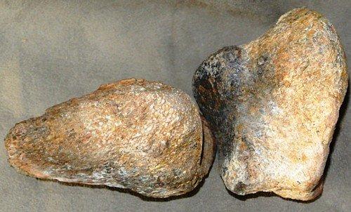 Dinosaur Camarasaurus Toe Bone & Claw # 35 Fossil Dinosaur Bone