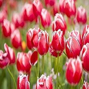 Auntwhale 5 piezas de semillas de tulipán arco iris
