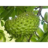 Dwarf-Soursop Tropical Fruit Tree 4 Feet Height in 5 Gallon Pot #BS1