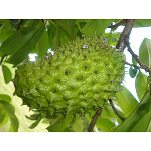 Dwarf-Soursop Tropical Fruit Tree 4 Feet Height in 5 Gallon Pot #BS1 by iniloplant (Image #3)