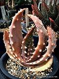 Rare Aloe ACULEATA V. CROUSIANA Exotic Succulent Agave Hardy Plant Seed 10 Seeds