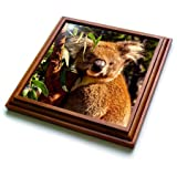 3dRose trv_262462_1 Cute Koala Sitting on the Branch of a Tree Animal Coala Trivet with Tile, 8 by 8''