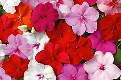 BUSY LIZZIE MIX - 160 seeds - Touch me not - Impatiens walleriana - Flower