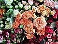 100 Rainbow Carnation Mix Mixed Colors Dianthus Caryophyllus Flower Seeds