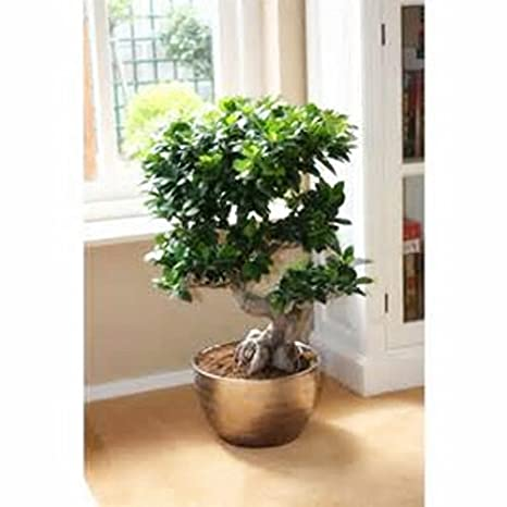 Chinese Rare Ficus Microcarpa Tree Seedschina Roots Sementes Bonsai Ginseng Banyan Garden Tree Outdoor Planters 5pcs Lot Amazon Co Uk Garden Outdoors