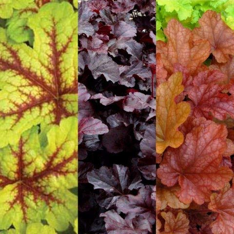 6 x Heuchera Alabama Sunrise - Obsidian - Peach Flambe - Coral Bells XXL Plug Plants Carbeth Plants