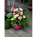 poudha.com Anthurium Light Pink Indoor Light Pink