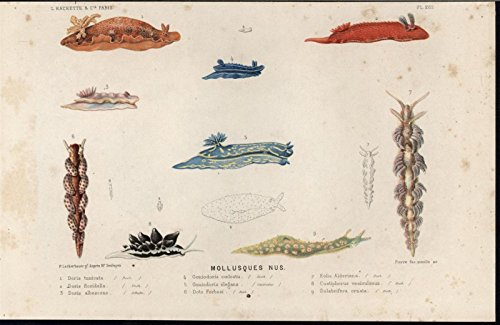 Mollusks Marine Gastropods Vibrant Creatures 1866 antique color lithograph print