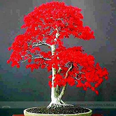 100% True Japanese Red Maple Bonsai Tree Cheap Seeds, Professional Pack, 20 Seeds/Pack, Very Beautiful Indoor Tree: Home Improvement