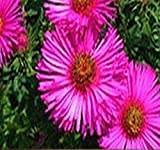 ~ Bulk ~ Pink New England Aster Seeds - Aster novae-angliae Seed ~ Butterfly Gardens ~ Perennial Blooms Zone 3-9 (Packet Size (200 Seeds))