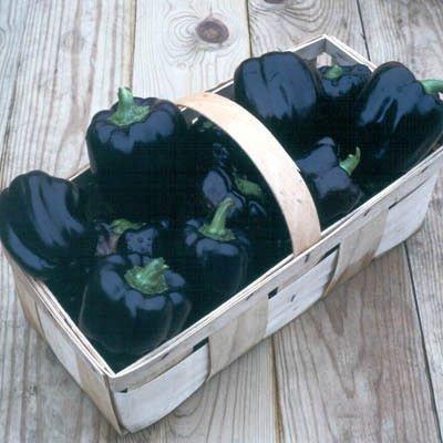 50+ Purple Beauty Pepper Seeds- Heirloom Variety