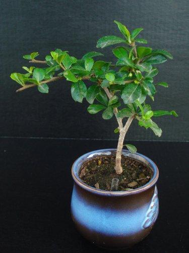 Trunk Flowering (Indoorbonsaiandexotics Oriental Fukien tea straight trunk Indoor Bonsai Tree)
