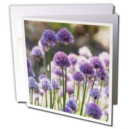 3dRose Uta Naumann Photography Flowers - Pink Leek Flowers in Spring - 12 Greeting Cards with envelopes (gc_253420_2)