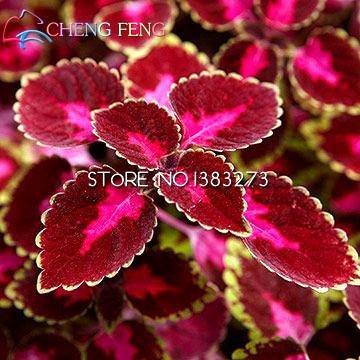 2016 Children's Promotion 100 Pcs / Bag Rainbow Dragon Coleus Seeds Beautiful Flower Plants Balcony Potted Bonsai Mixed Colors SVI