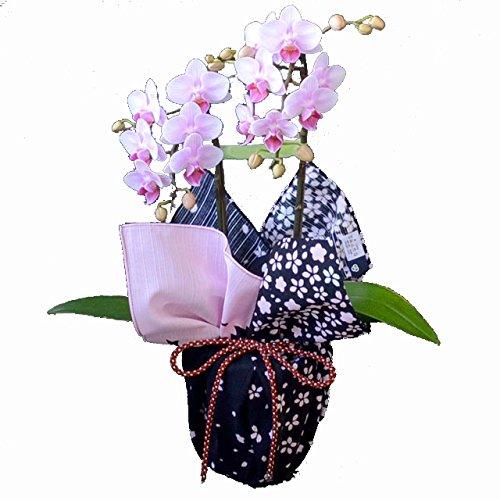 ミディ胡蝶蘭 2本立ち 4号陶器鉢 ブランド風呂敷ラッピング kenema「花嵐」 B076J43NCS