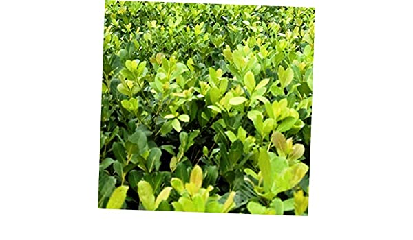 Ilex paraguariensis Live Plant make your own delicious beverages! Yerba mate