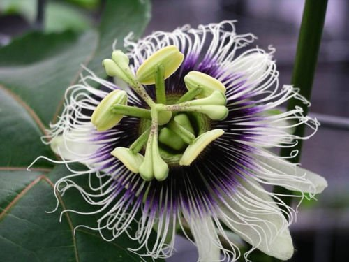 Purple Passion Fruit Vine, Passiflora Edulis, Seeds (Fast, Edible Fruit) (60 Seeds) (Twining Wide Leaf)