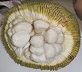 ~MARANG~ Artocarpus odoratissimus TERAP taste of VANILLA ICE CREAM Med szd Plant
