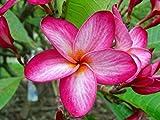 """Plumeria Frangipani Rooted Hawaii Plumeria Tree Seedling Plant """"Tinkerbell Pink"""""""