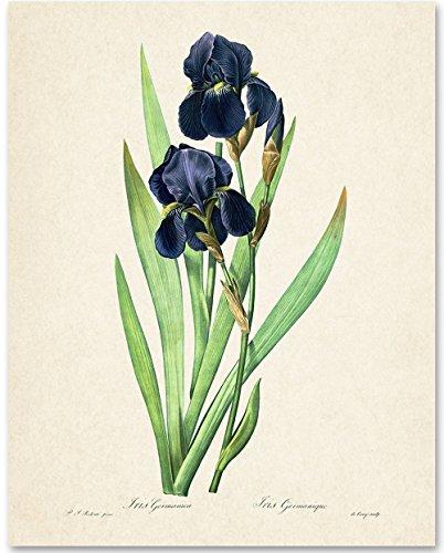 Iris Germanica Botanical Art Print - 11x14 Unframed Art Print - Great Bathroom and Bedroom Wall Decor