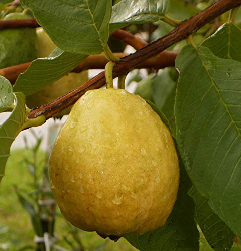 (Florida Tropical White/Yellow pear Guava Fruit Tree 10 Seeds - liveseeds)