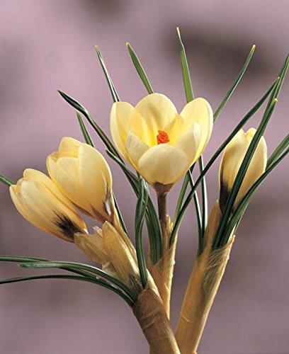 Crocus (Cream Beauty) Flower Bulbs (50) (Cream Crocus)