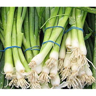 500 Heirloom Evergreen White Bunching Onion Seeds : Garden & Outdoor