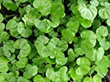 Dichondra Repens Grass Seeds - 1 Pound