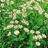 1 Packet - 100 Seeds of Costmary/Tanacetum balsamita