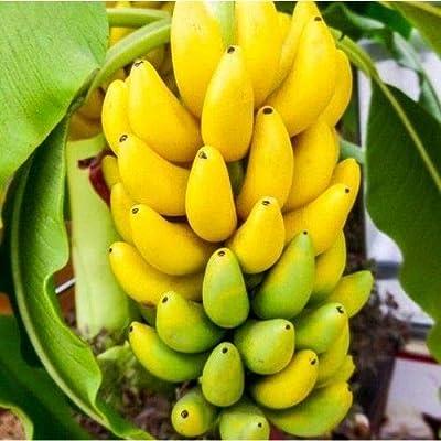 Dwarf Cavendish Banana Plant Seeds (Musa acuminata) 10+Seeds : Garden & Outdoor