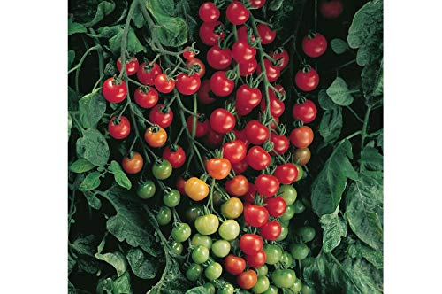 Super Sweet 100 Hybrid Tomato Seeds (40 Seed Pack)
