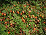 """(18 Count Flat-3.5"""" Pots) Rubus Calycinoides Creeping Raspberry (Groundcover) Spreading Shrub-Like Green Foliage with Prickly Texture, Small White Flowers, Burgundy to Red Color in Fall."""