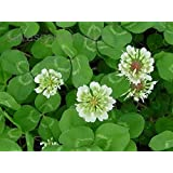 Organic Seeds: 5 LBS Dutch Clover Seed for LAWNS & Ground Cover 800,000 Seeds PER LB by Farmerly