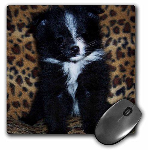 """3D Rose """"Black White Markings Pomeranian Puppy"""" Matte Fin..."""