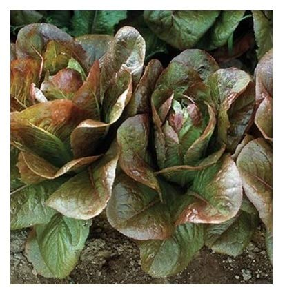 - David's Garden Seeds Lettuce Rouge d'Hiver GC2236 (Red) 500 Non-GMO, Heirloom, Organic Seeds
