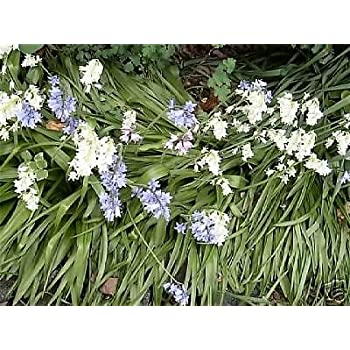 Amazon 50 spanish bluebell wood hyacinth seeds pretty 50 spanish bluebell wood hyacinth seeds pretty white blue pink blooms mightylinksfo