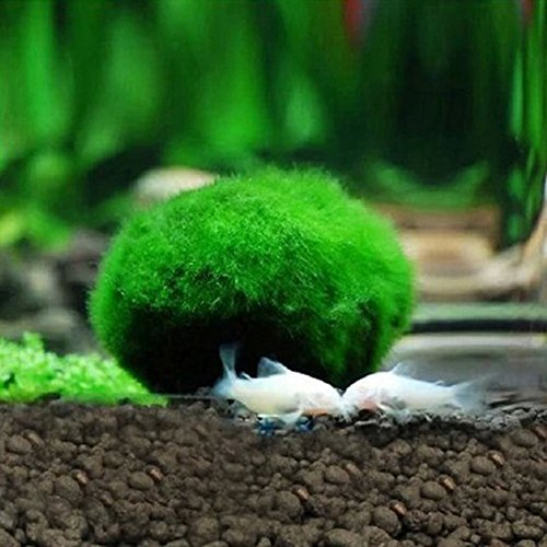 Marimo Moss Balls,Patgoal Live Marimo Plants Natural Toys for Fish Aquarium Plant