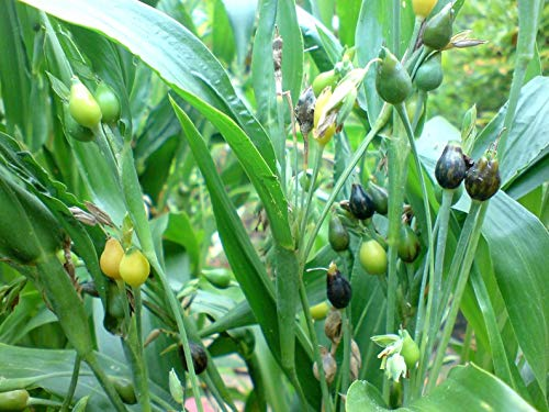(Job's Tears Seed for Planting, (Coix Lacryma-Jobi) Both Medicinal Herb and Popular Food, (Packet 25 Seeds) by)