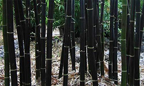(Portal Cool 20X Phyllostachys Nigra Black Bamboo Seeds Growing Garden Plant)