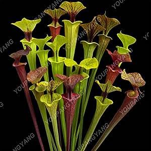 50 Semillas / Semillas de la planta insectívora Paquete maceta Dionaea raras semillas en tierra de Venus atrapamoscas Bonsai Bonsai milagro plantas multicolores