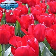 Pre-chilled Red Tulips Darwin Hybrids (25 Bulbs) - Red Van Eijk Tulip Bulbs
