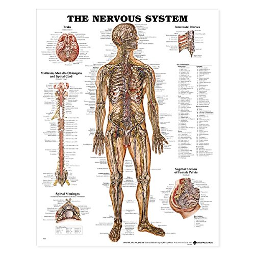 (The Nervous System Anatomical Chart)