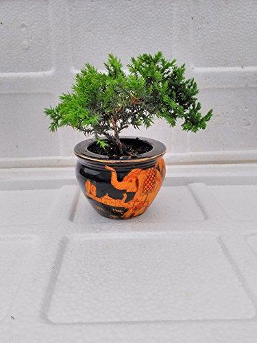 jmbamboo- Juniper Tree Bonsai elephant Best Gift