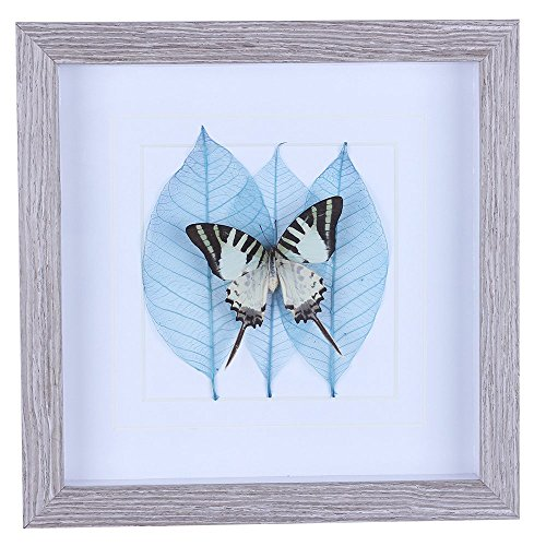 Shadow Box with A Real Large Gray-Green Butterfly Specimen, Mat and Natural Leaves, Wall Decor for Interior Home Living / Bed / Dining Room,Gifts for Kids, Childred, Teen Boy and Girls, 10 x 10in BF03