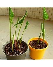 Go Garden 45Ef Calla Lily Plantseed - Caseta de jardín