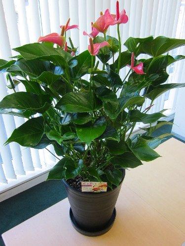 アンスリウム(アンスリューム)ピンク 10号鉢(尺鉢)四季咲きで花持ちが良く涼しげでギフトとして大変喜ばれている人気商品です。大変大きく高さもありお部屋のインテリアとして置いて頂くと一段と華やかになります。開店祝い、新築祝いなどにもおすすめです。 B00519KV1I