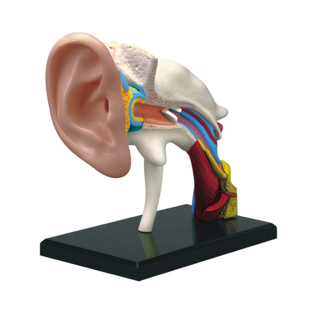 Amazon.com: 4D Human Inner Ear Anatomy Model 22 Component Medical Learning  Resources 1.5 Times 3.5 inch: Industrial & Scientific