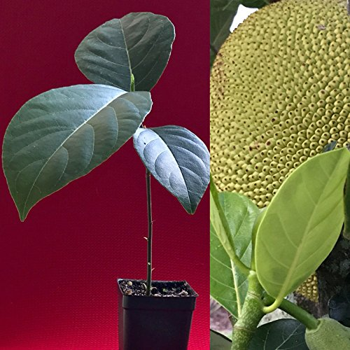 - Jackfruit Artocarpus Heterophyllus Jack Fruit Seedling Plant Tree 8-13