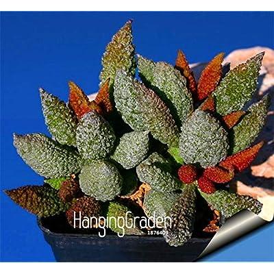 """Big Promotion!100plantas/Lot""""Strombocactus disciformis"""" Cactus Garden Bonsai Succulent Plant Rare Flower Flores Pot planters, #J : Garden & Outdoor"""